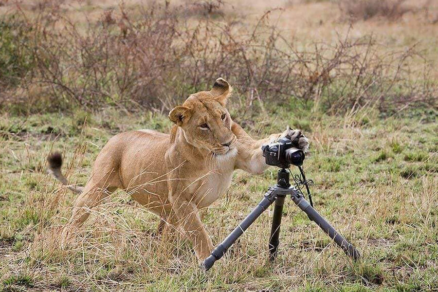 lion destroys camera