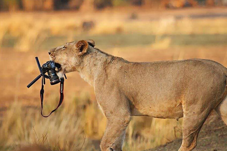 lion steals camera from photographer