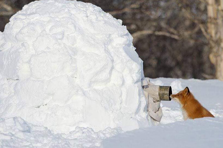 snow fox is ready for his closeup