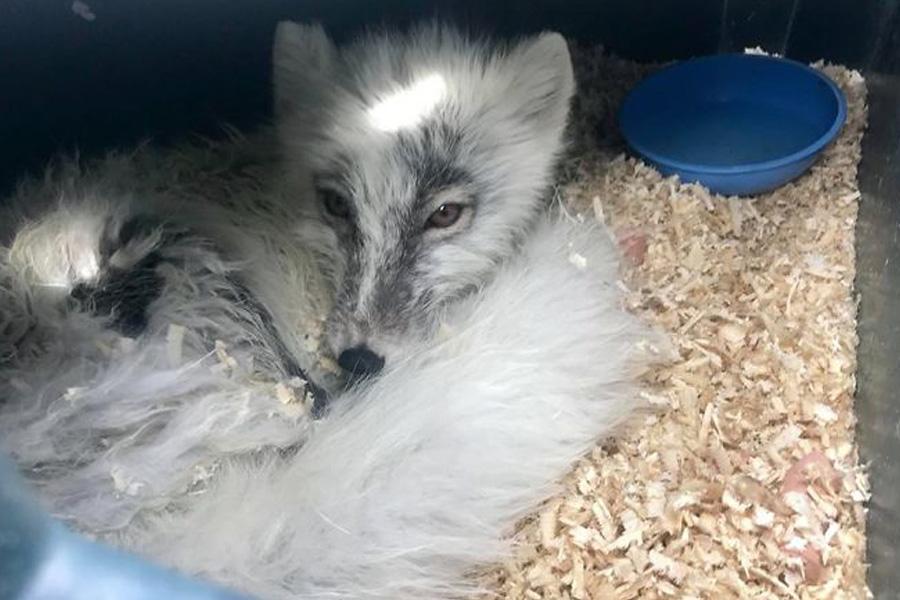 arctic fox woken by noise
