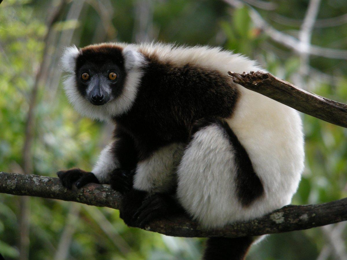 Lemur-29216-73827.jpg