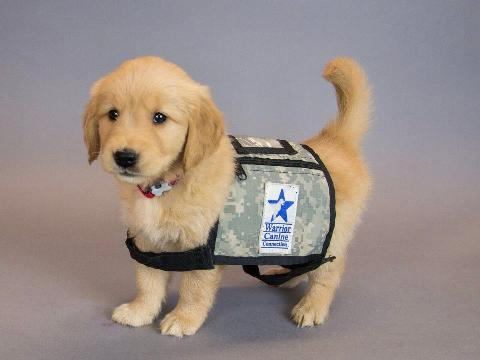 service-dog-in-training-in-vest-67859-43852.jpg