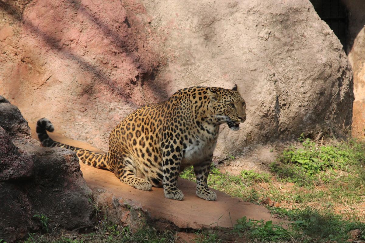 pregnant-jaguar