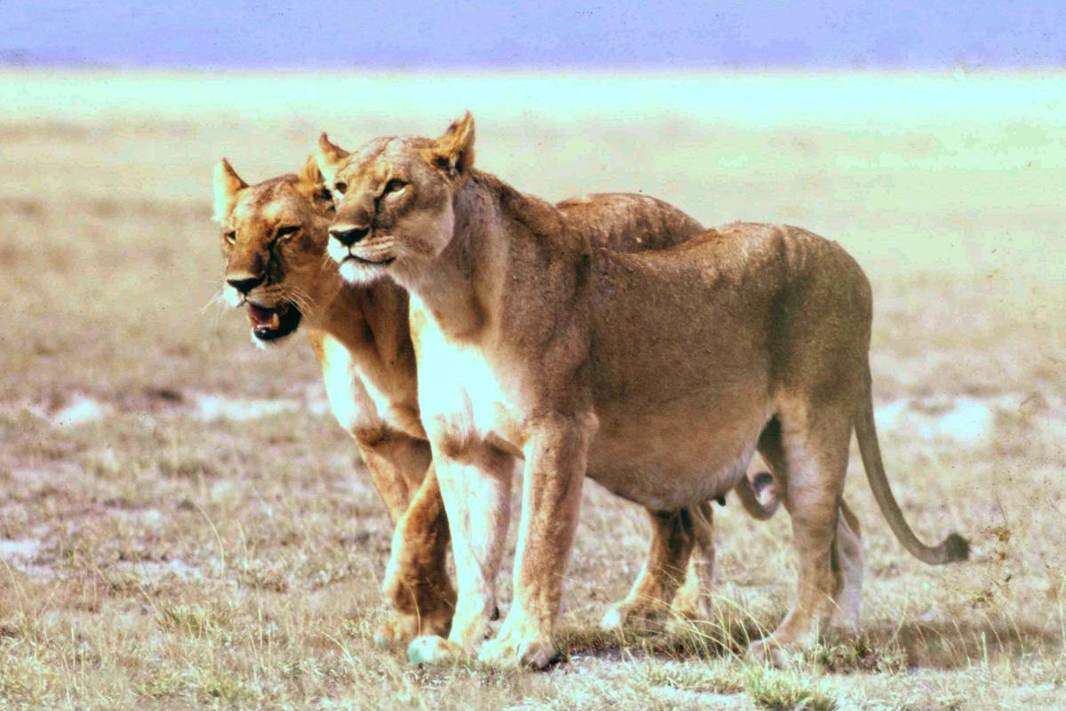 pregnant-lion-lioness
