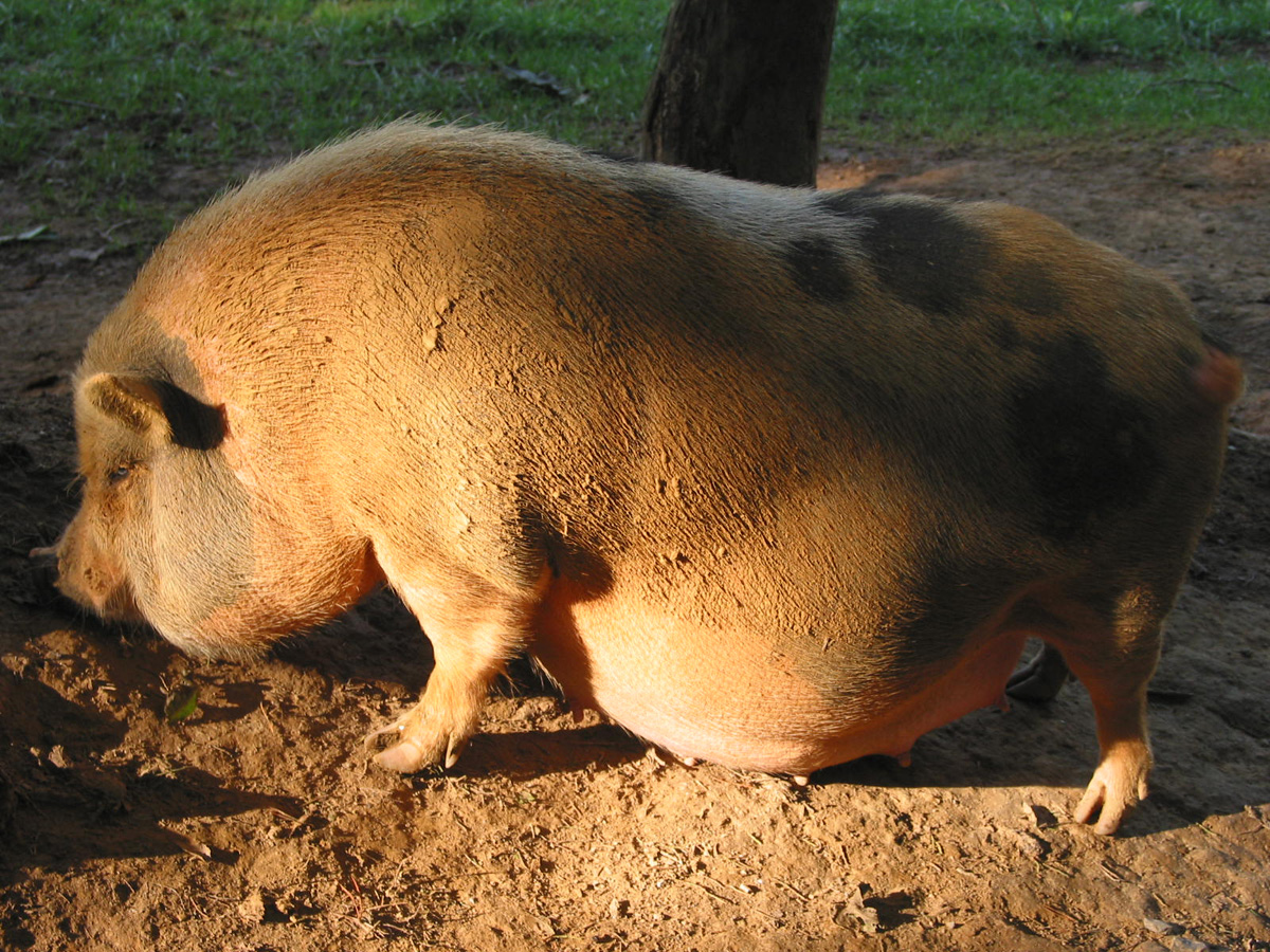 pregnant-pig