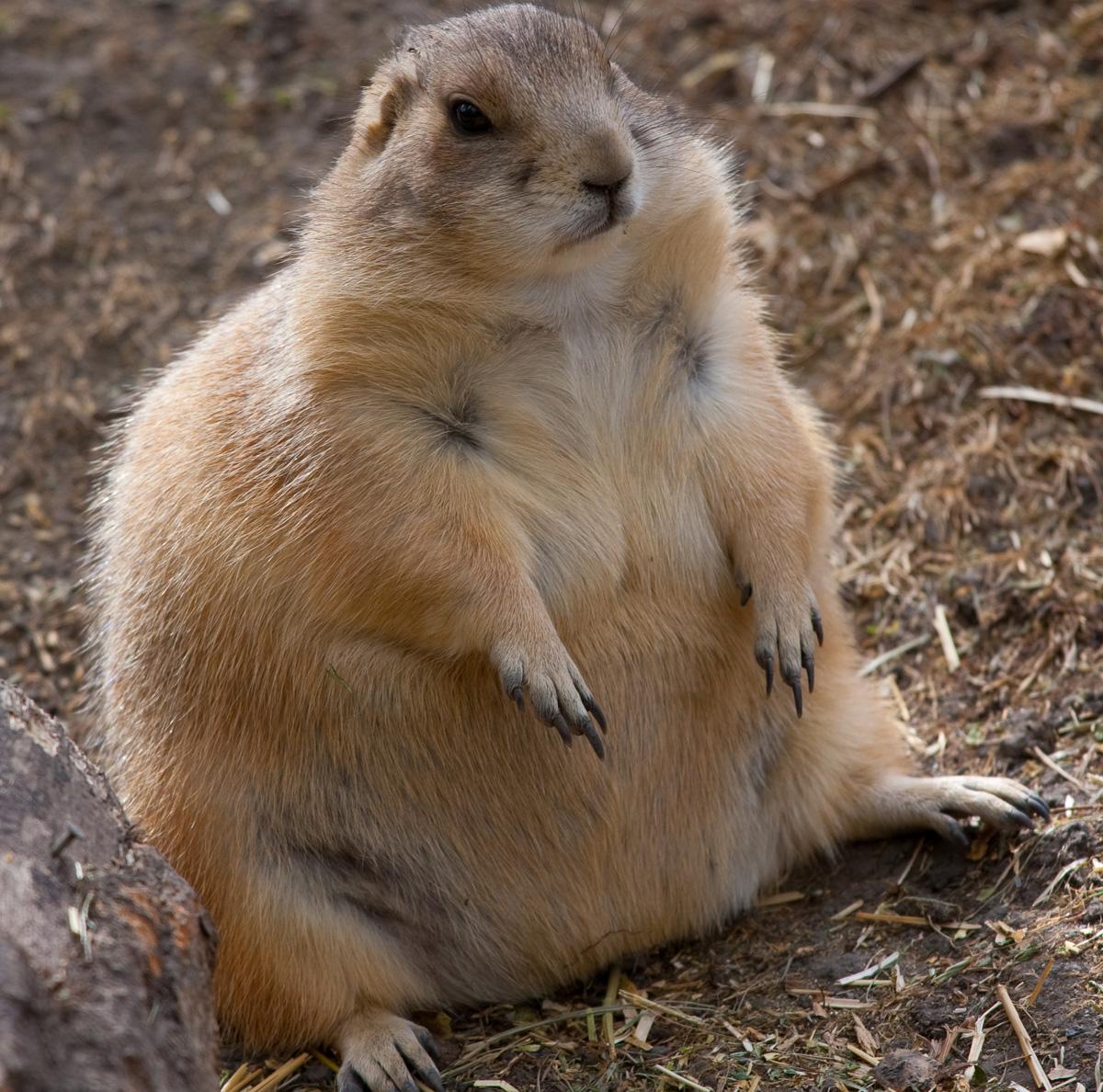 pregnant-prairie-dog