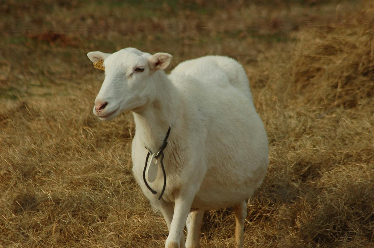 pregnant-sheep