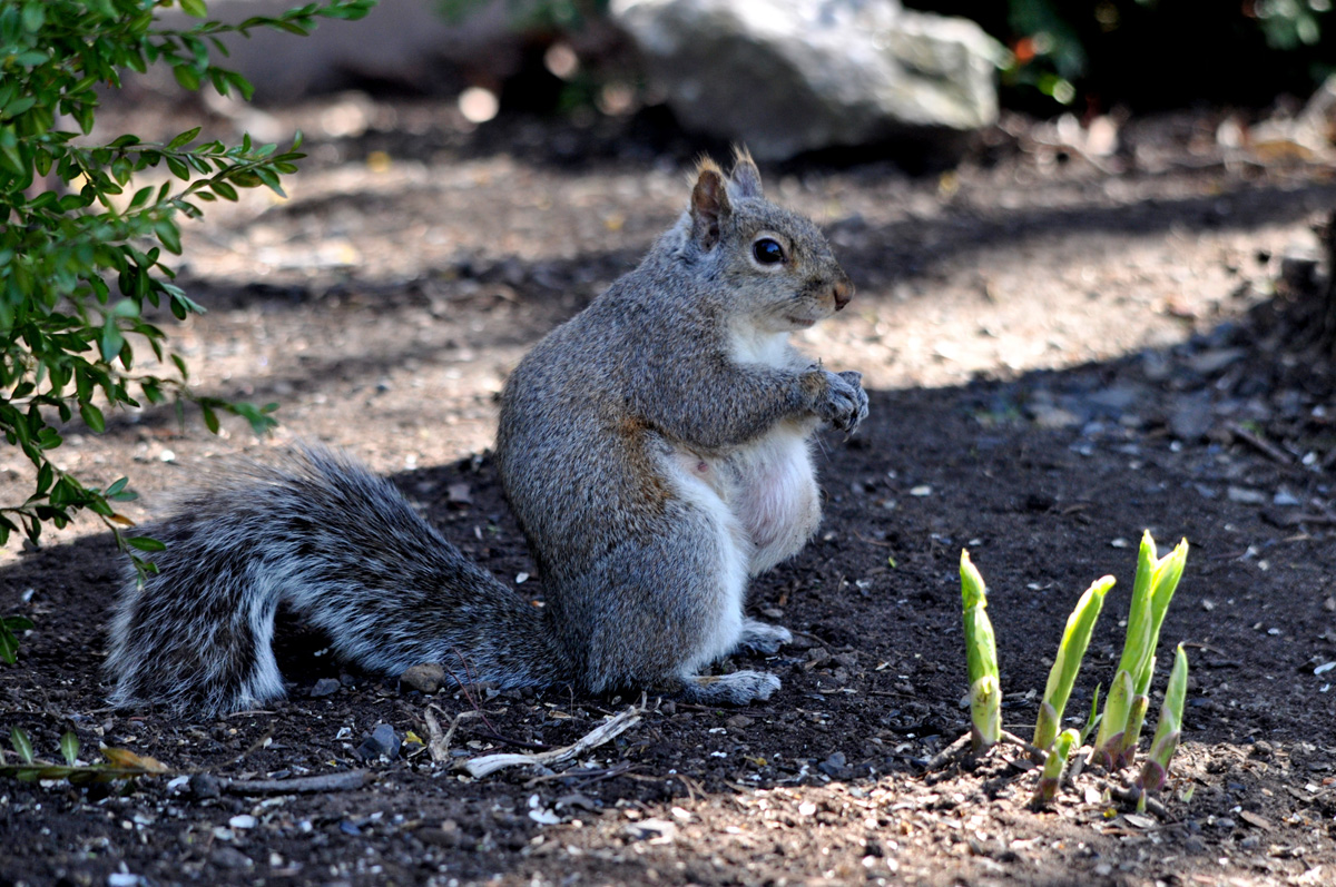 pregnant-squirrel