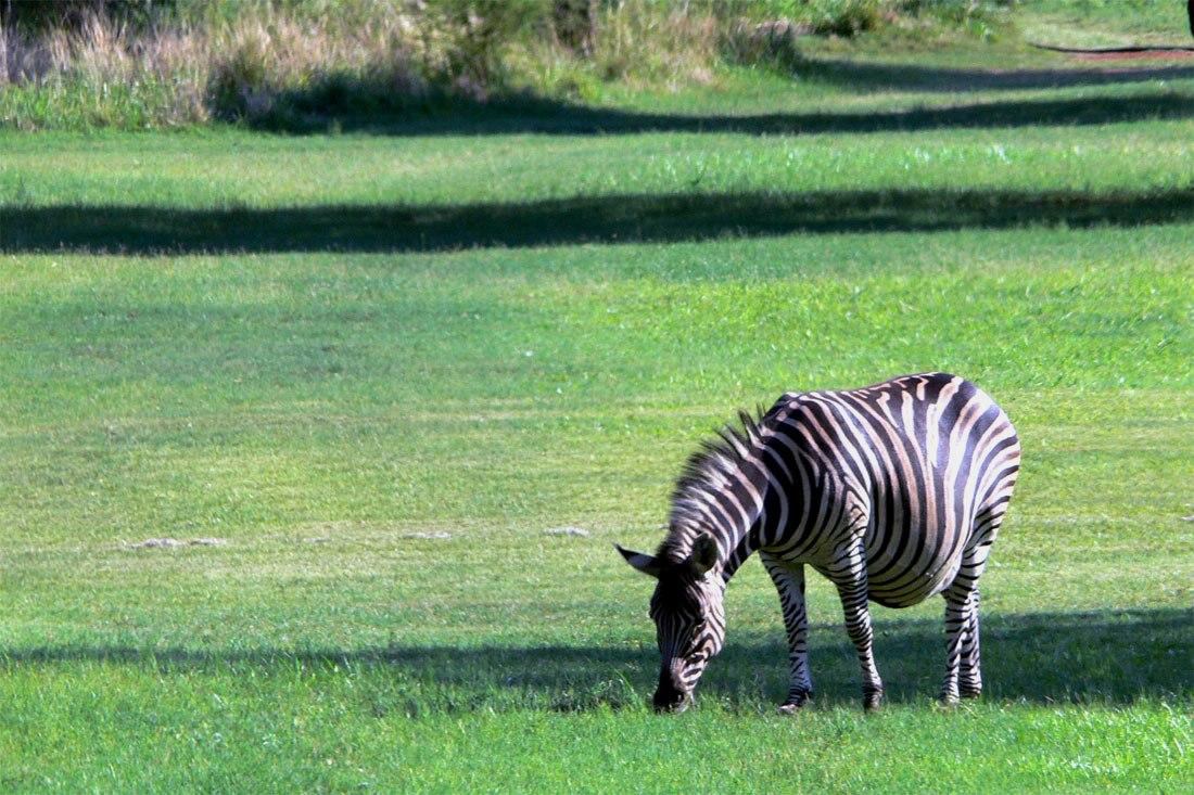 pregnant-zebra