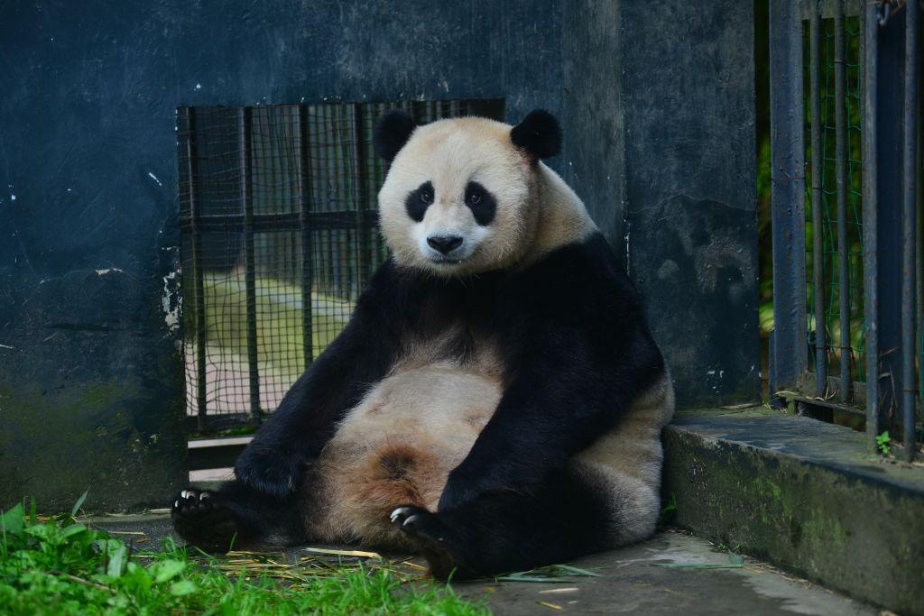 panda-pregnancy