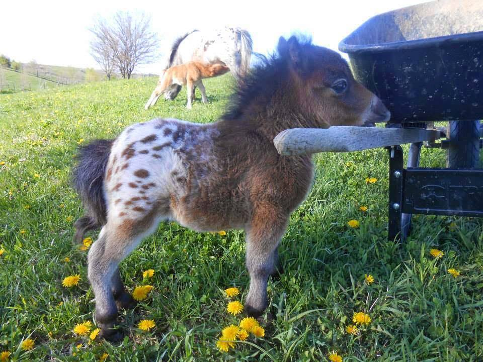 mini horse appaloosa