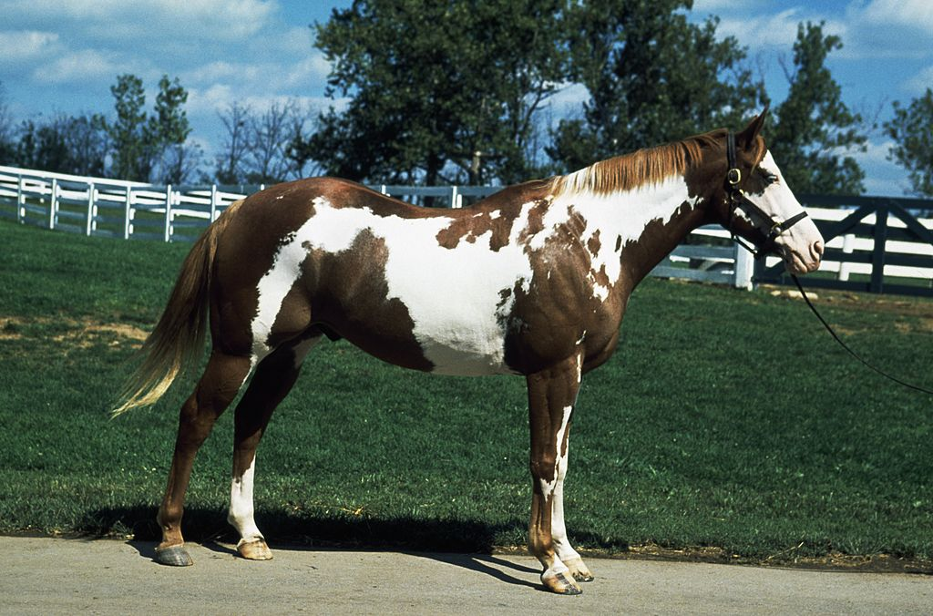 Paint horse  paint