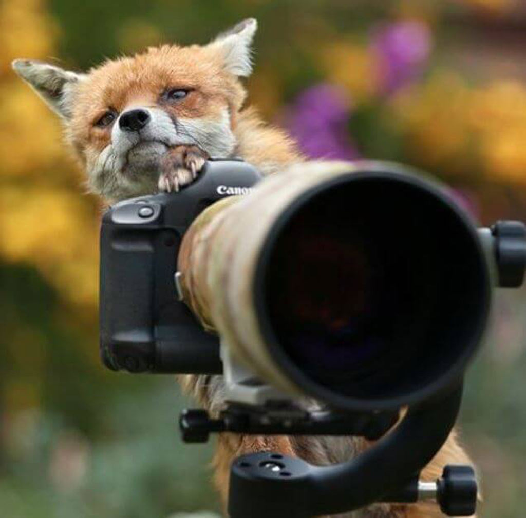 fox with a camera