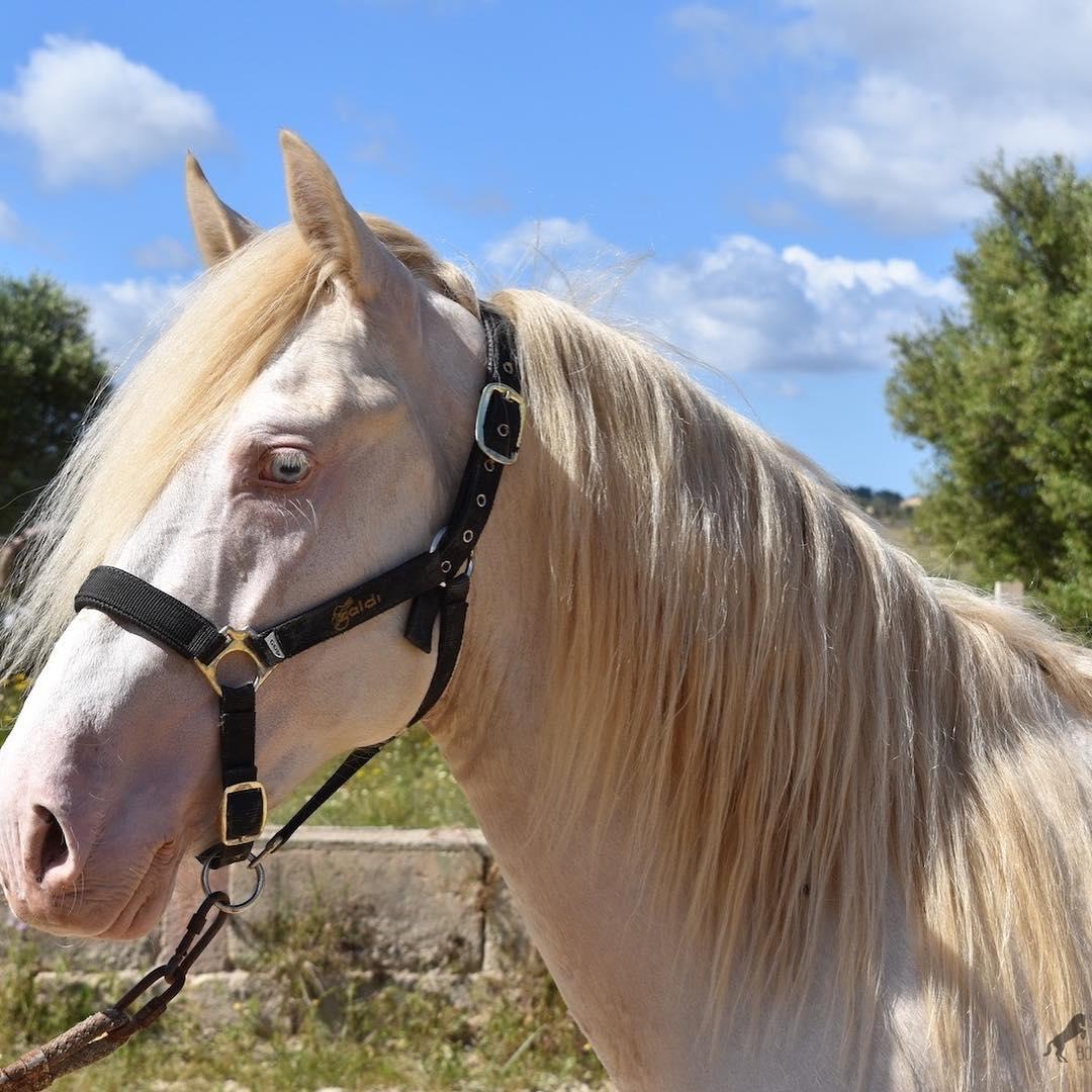 Perlino horse close up