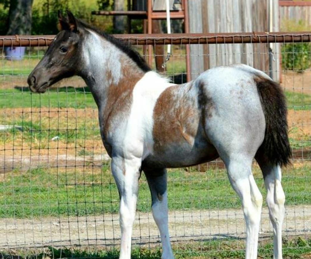 foal roan paint stands near fence