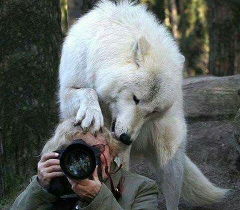 wolf-head