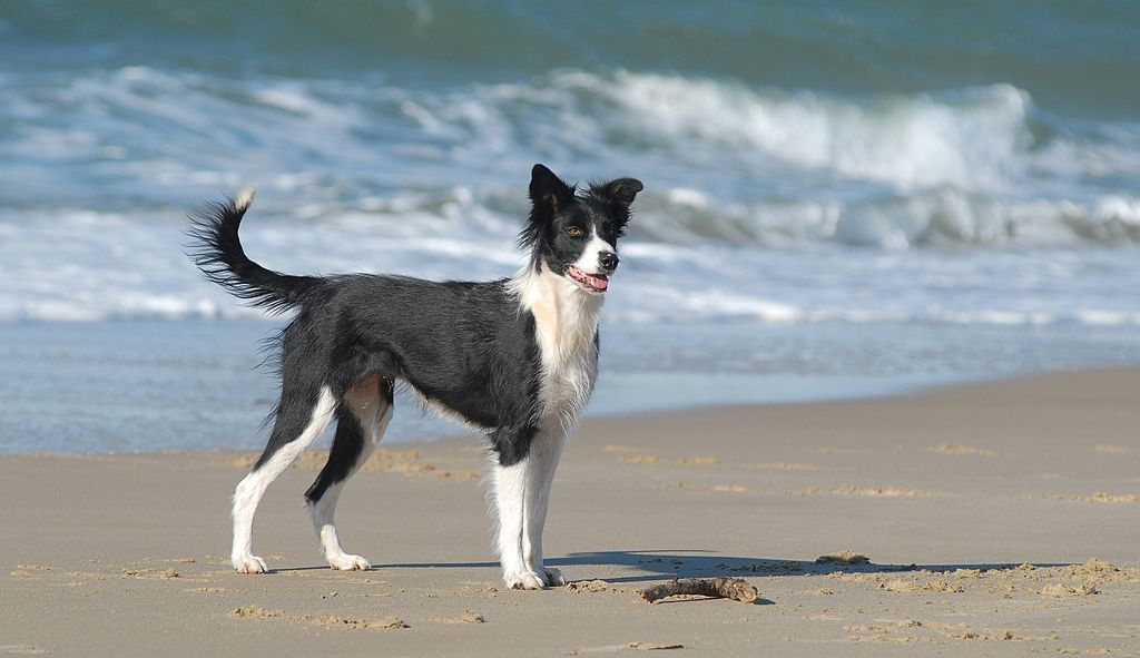 GettyImages-506007211-29216-82087 border collie on a beach wants to run