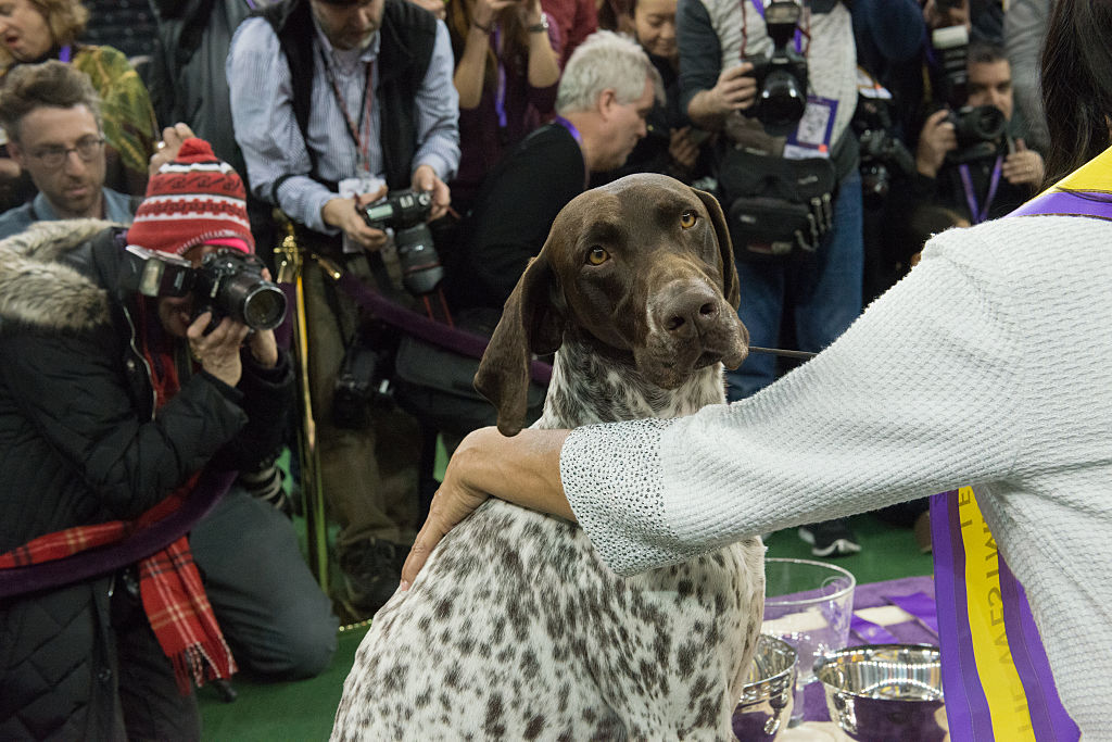 GettyImages-510749198-69328-46392 german shorthaired pointer at dog show