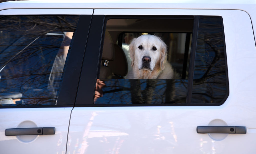 GettyImages-914952392-57548-13592 lab retriever looking out car window