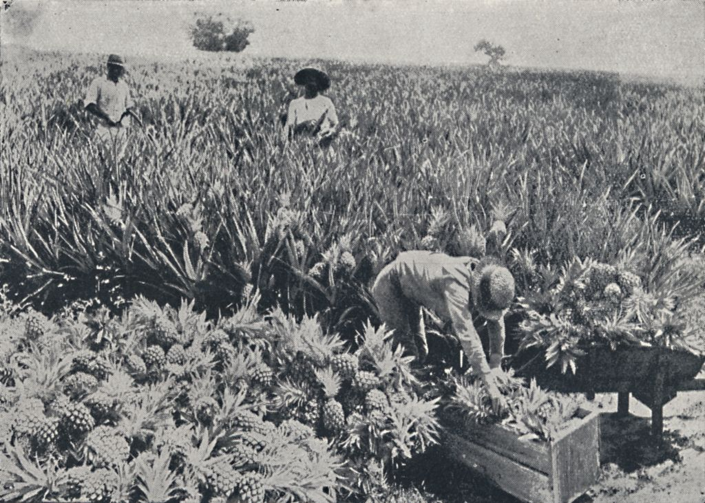 pineapple farm on new zealand