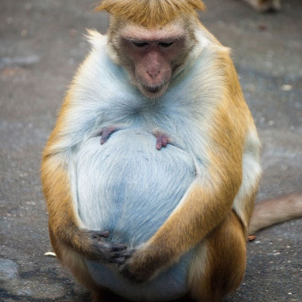 pregnant macaques hold on to moms