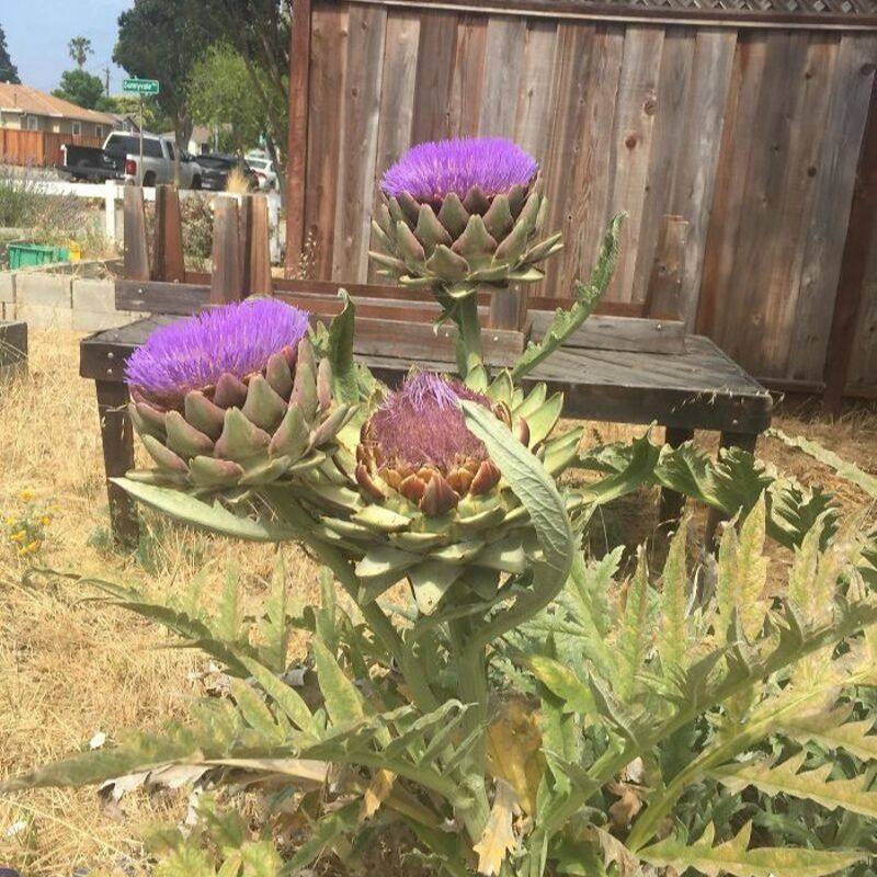 artichokes grow into flowesr