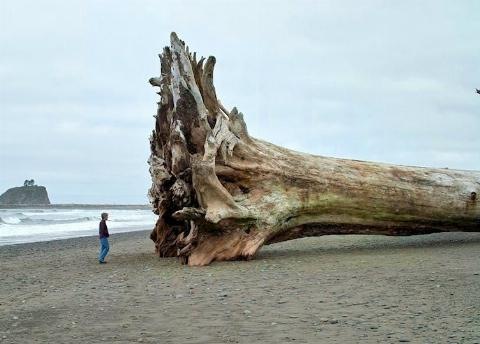sequoia tree on the beach