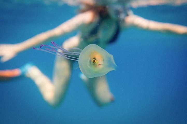 fish seen inside clear jellyfish