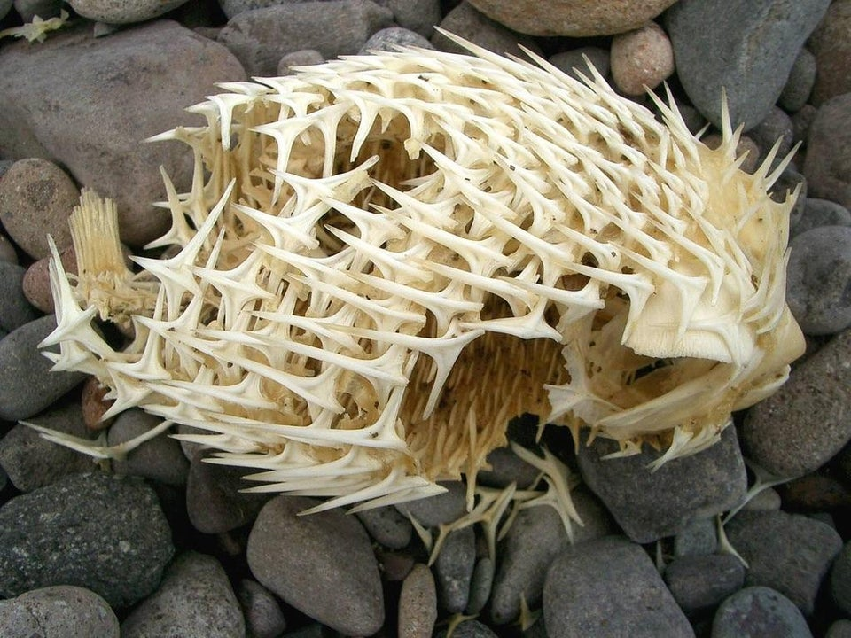 skeleton of a puffer fish