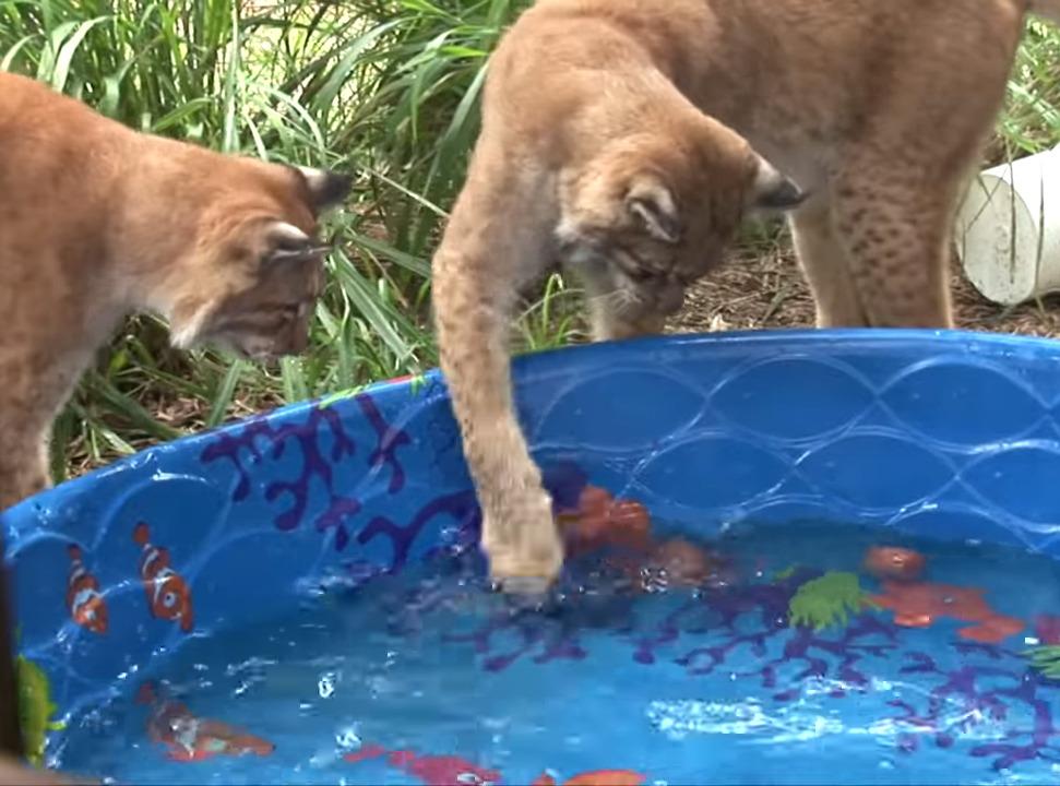 Caracals swipe at water in a kiddie pool.