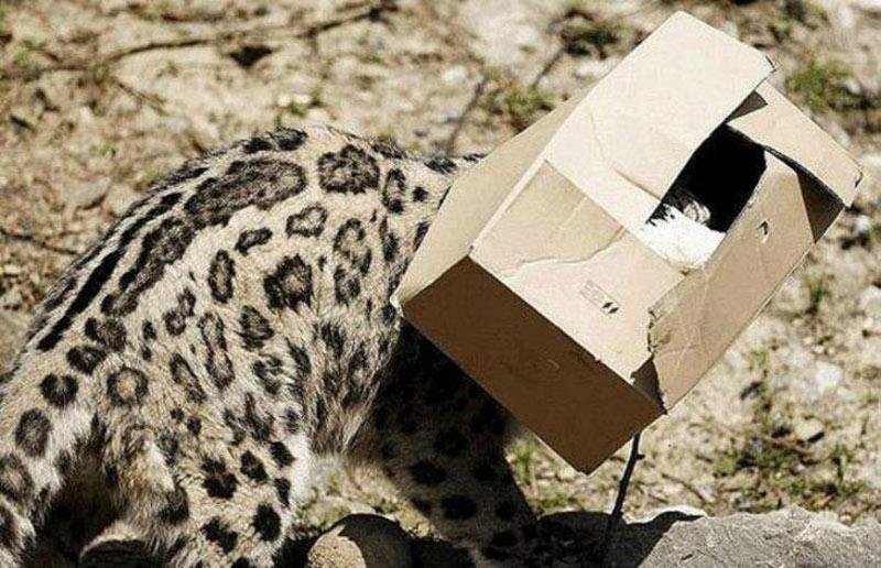 leopard in a box