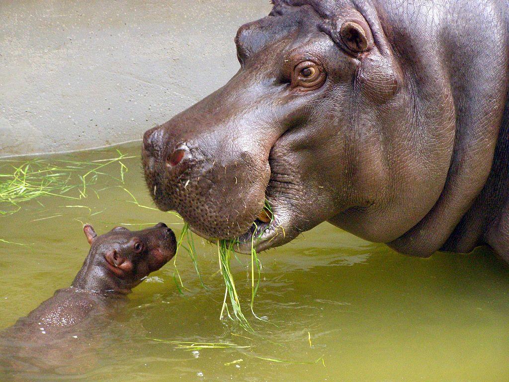 hippo-mama-baby
