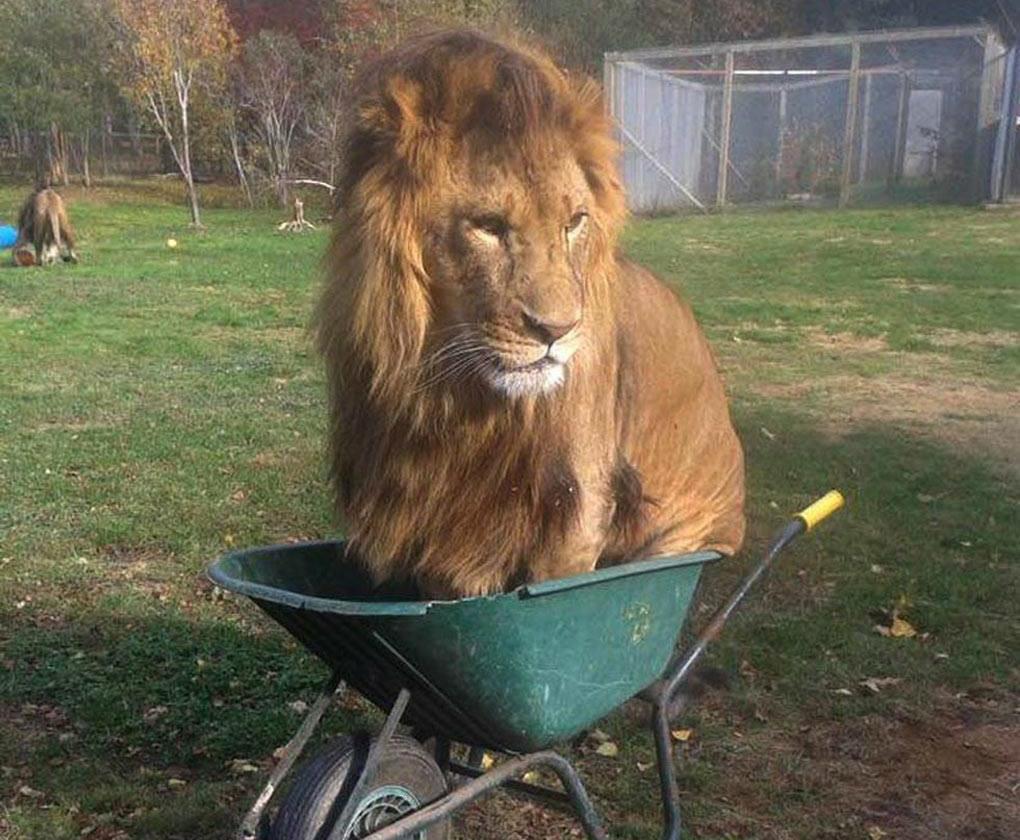 Male lion sits in a green wheelbarrow.