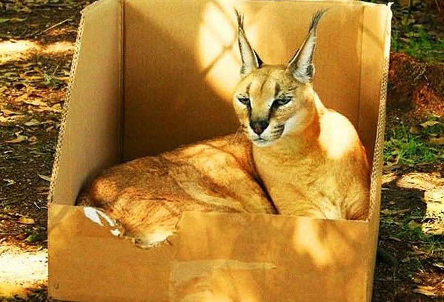a lynx sits in a box