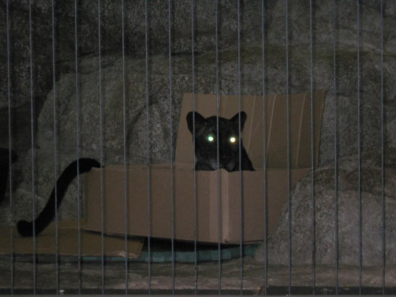 Panther sits in a cardboard box in a zoo.