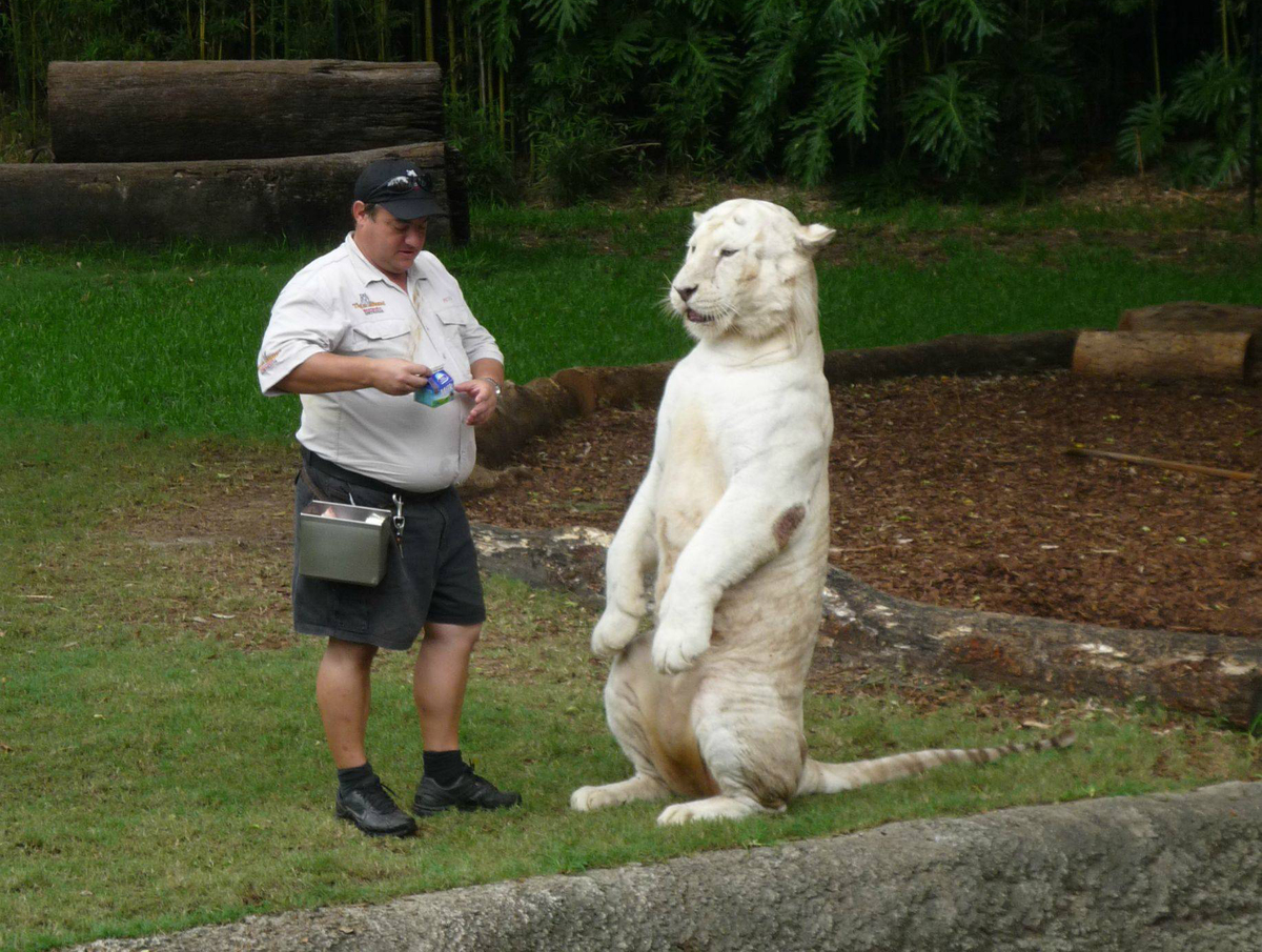 White tiger sits next to a zookeeper about to give him milk.
