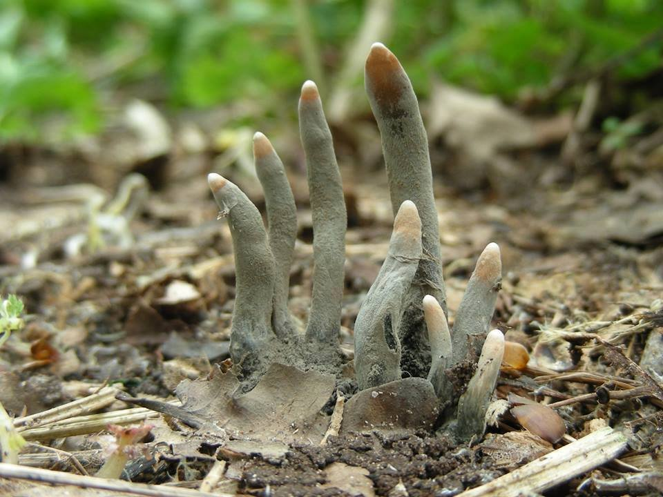 photo of xylaria polymorpha fungus also known as dead man's fingers