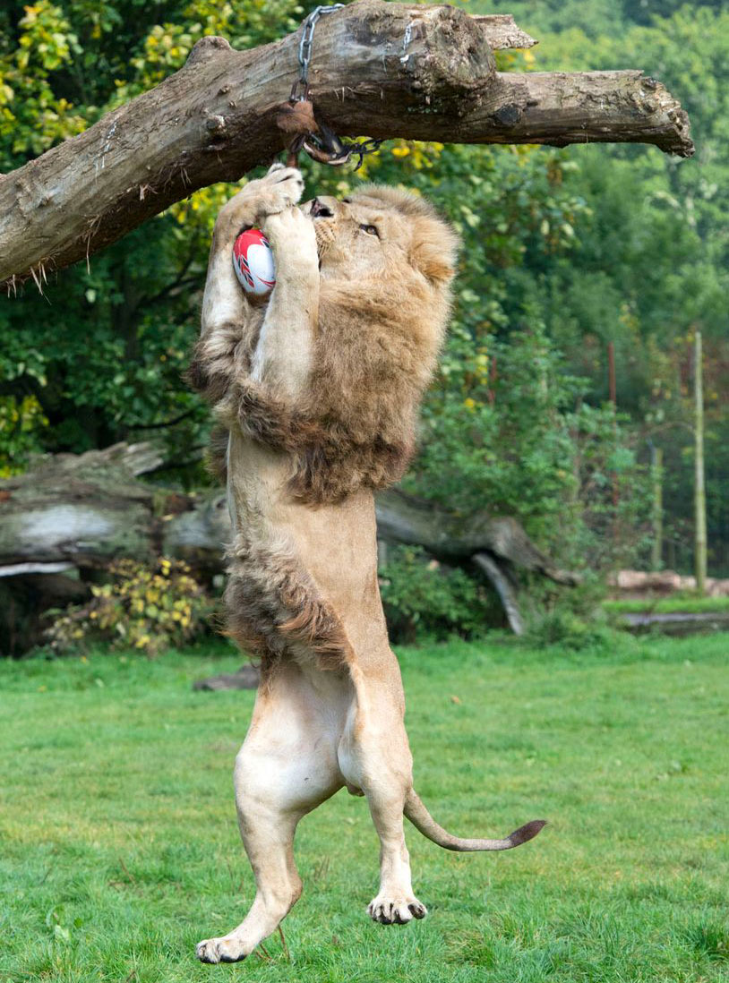 Lion playing with toys