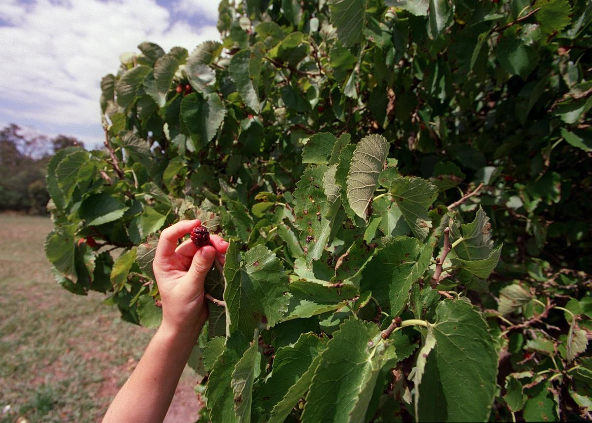 Person picks mulberry fruit off of a tree.