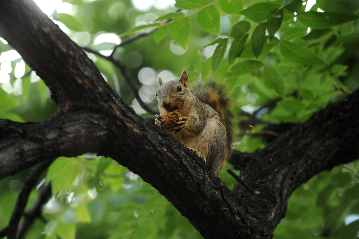A squirell enjoys black walnuts from a tree