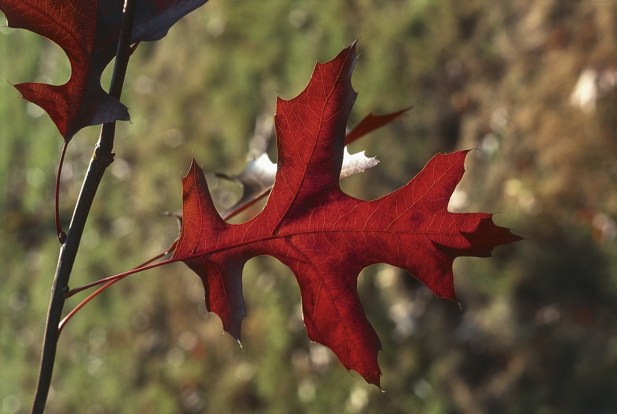 Camera catches a close-up of red oak leaves.