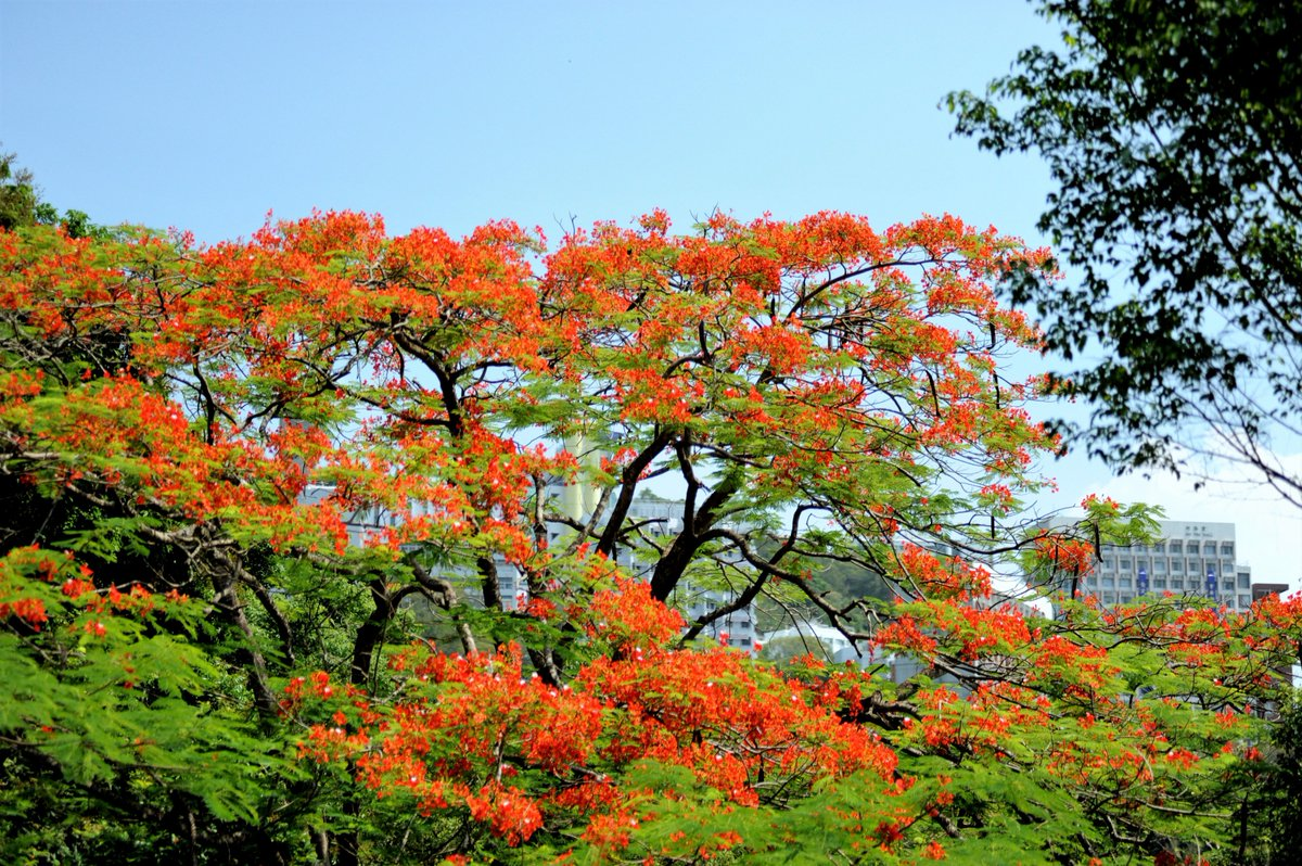 A Chinese flame tree is near the University of Hong Kong.