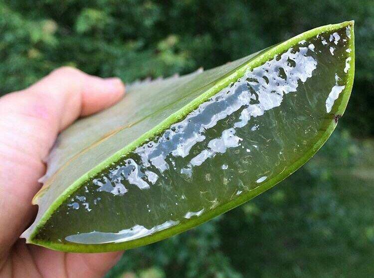 A sliced aloe vera plant shows the juice inside.