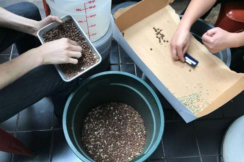 employers sorting coffee beans