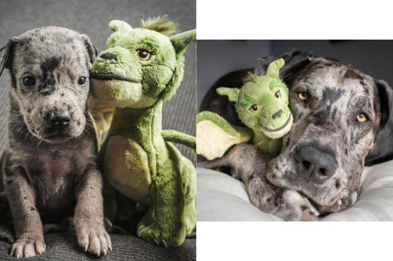 a dog with the same stuffed animal as a puppy and an adult