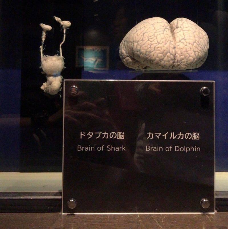 a dolphin brain and a shark brain