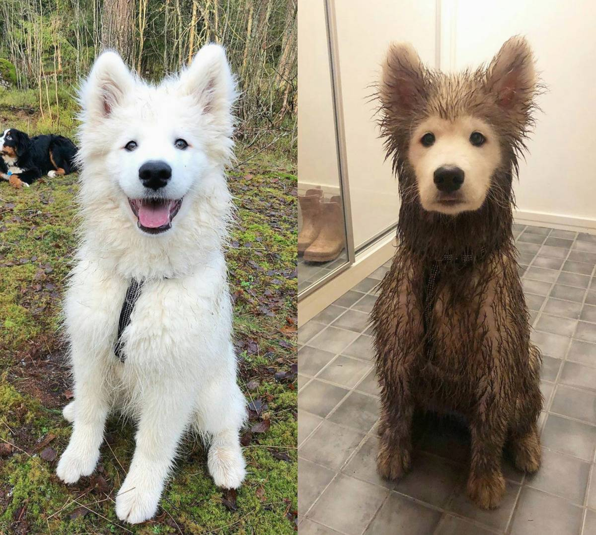 dog seen clean and white vs. brown and dirty