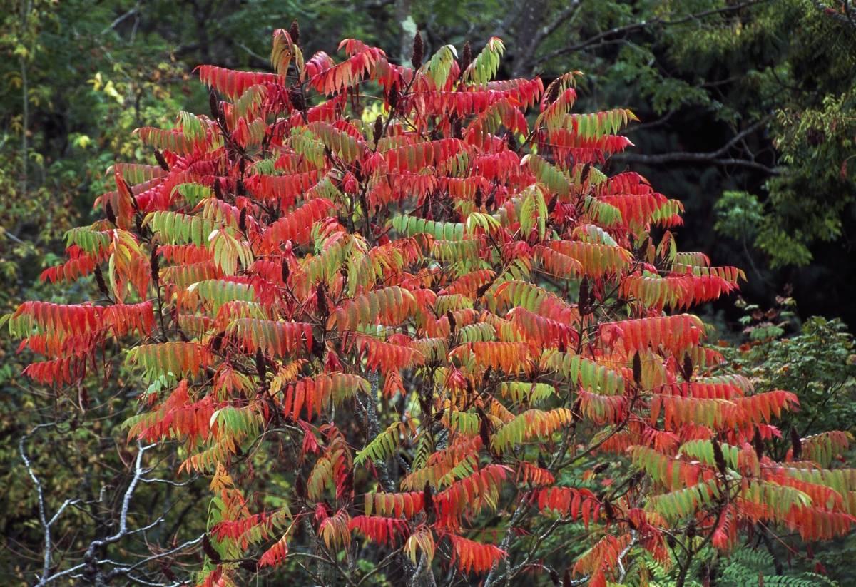Staghorn Sumac, Anacardiaceae