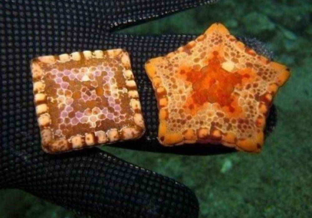 Some Starfish Are Square-Shaped