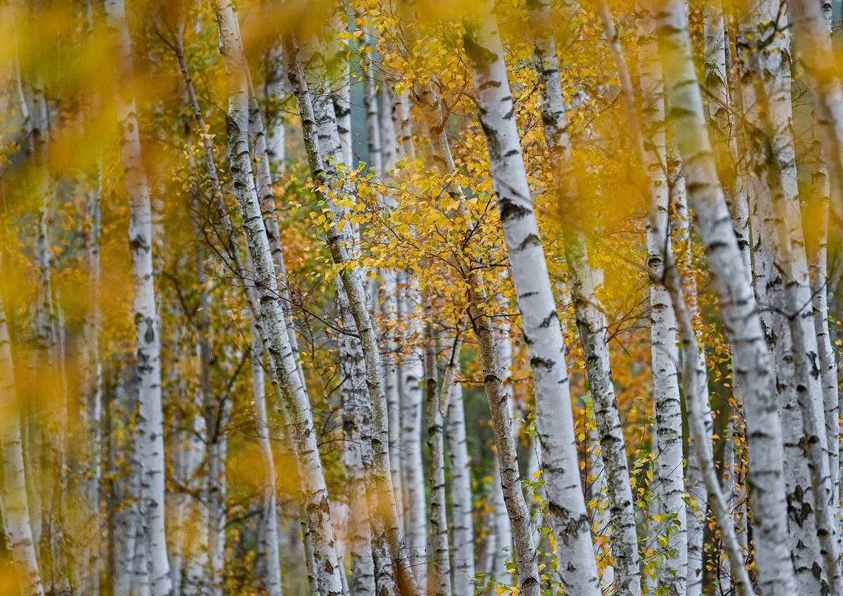 Straupitz: A birch forest with its distinctive white-black trunks in a forest on the edge of the Spreewald is coloured in autumn.